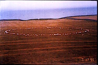 15. Sheep circle, Scotland